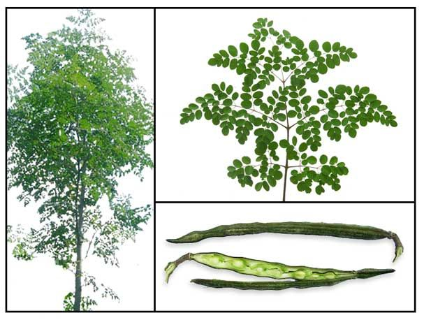Malunggay (Moringa Olifera) A common plant that grows in anybody's backyard in the Philippines.