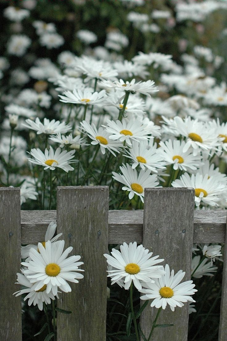89 best daisies images on pinterest beautiful flowers daisies and daisies my all time favorite flower great photo of shasta daisies along a picket fence izmirmasajfo Images