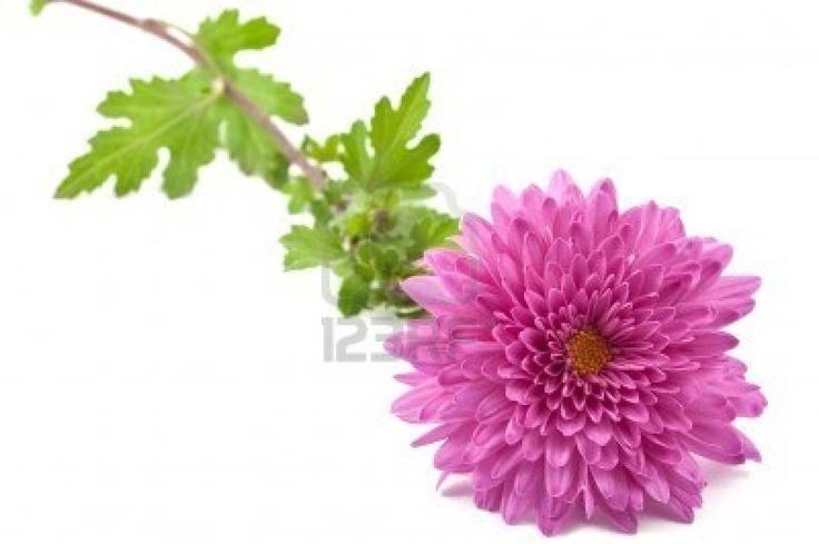 Chrysanthemum November Birth Month Flower Other