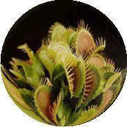 Coltivare la Dionaea - Le Piante Carnivore