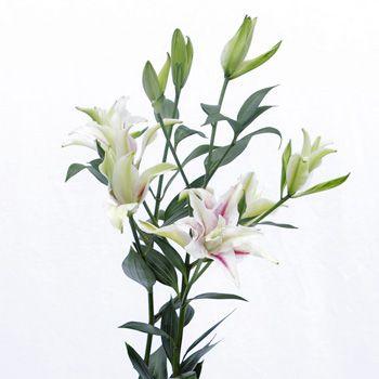 Double bloom Oriental  lilies #lilies