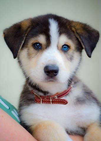 adorable German shepherd-husky pup