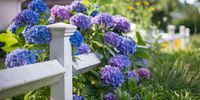 Facts About Hydrangea - Things Every Hydrangea Fan Needs To Know