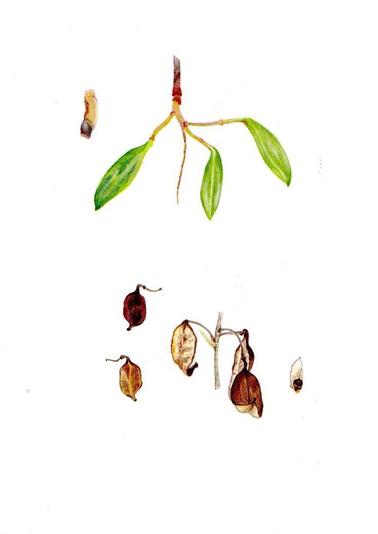 Frutos y semillas de Radal y Avelanillo, Altos de Vilches, VII Región, Chile