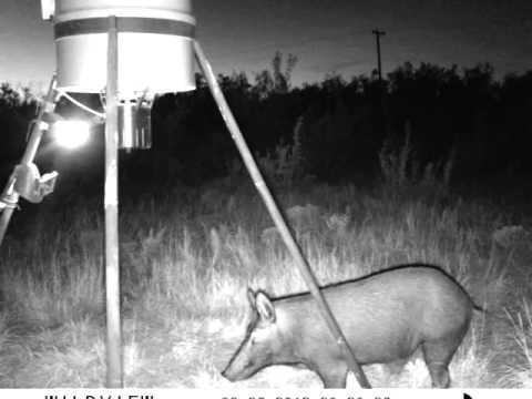 Hog hunting video featuring one of the best hog hunting lights on the market.