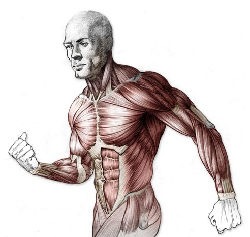 77 best anatomie images on pinterest   drawing, anatomy reference, Muscles