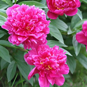 Peonies are ultra tough -- and ultra beautiful. The plant practically rewards neglect with its gorgeous, showstopping early summer blooms that bring fragrance and add stunning beauty to cut flower arrangements.  Plant Name: Paeonia officinalis  Growing Conditions: Full sun and well-drained soil  Size: To 4 feet tall and wide  Grow it with: To 4 feet tall and wide  Zones: 3-8
