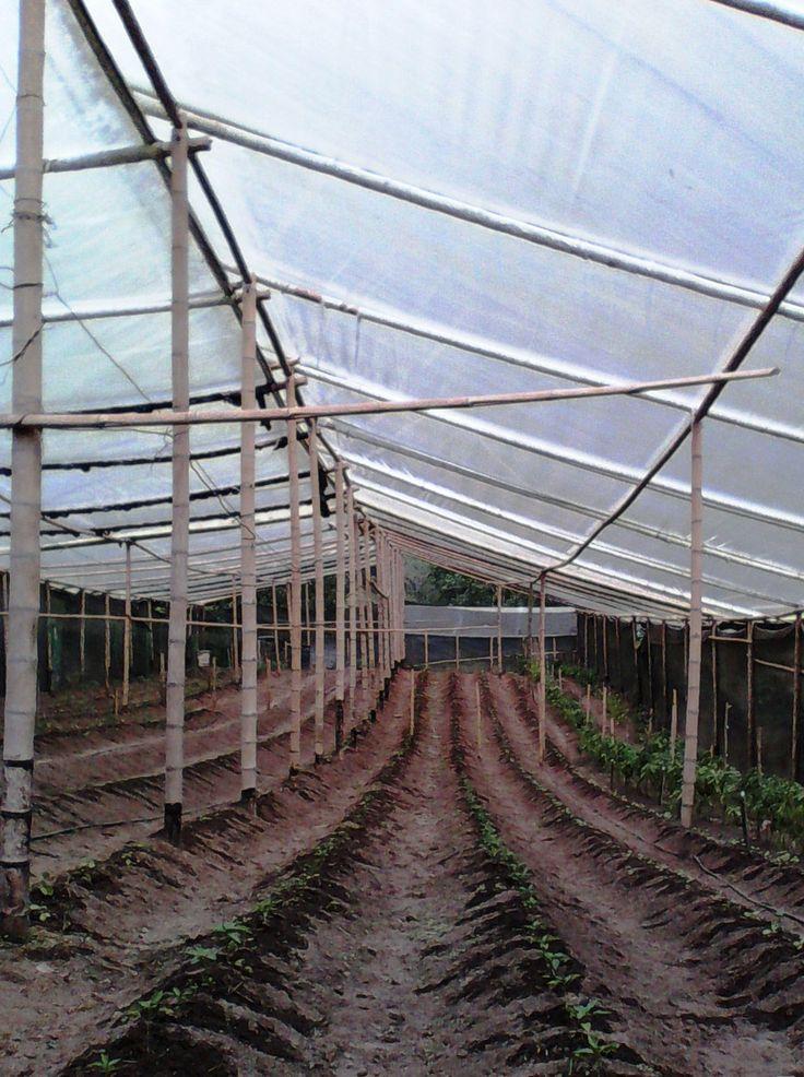 Invernadero para plantas de tomate org nico bio huerto de - Invernadero para casa ...