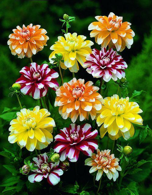 "Un superbe feu d'artifice de fleurs de ""Dahlias""...."