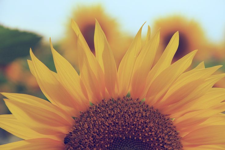 Sunflowers in Summer Hokkaido. :) #summer #sunflower #flowers #beauty #life