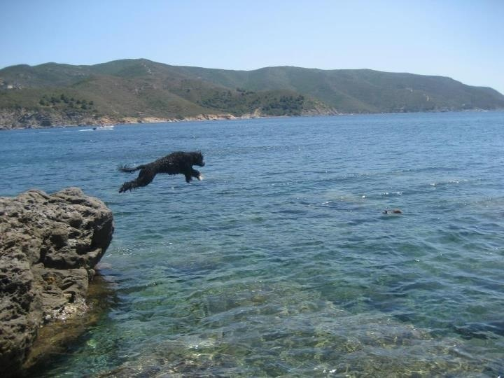 portuguese water dog........how cool is this!!!!