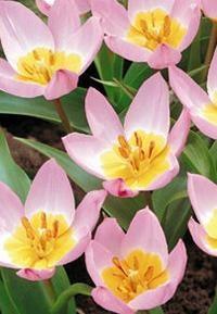 Lilac wonderTulipan blomstrer i marts-maj og kommer igen år efter år