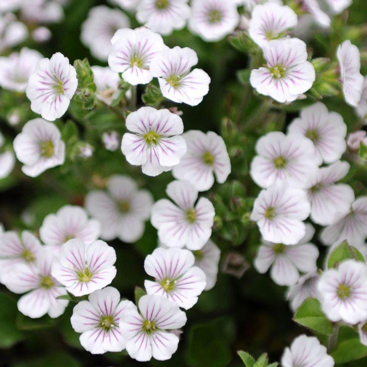 Gypsophila cerastioides MATTSLÖJA Lågväxande släkting till brudslöja. Vita, stjärnlika blommor med mörkrosa ådring. Kompakta, utbredande tuvor av små, runda, friskt gröna blad översållade av blommor under våren och försommaren. Torktålig marktäckare för väldränerade växtplatser som stenparti, murar eller tråg. Vintergrön i mildare klimat. Förbehandlat frö för snabb och hög grobarhet. Perenn.