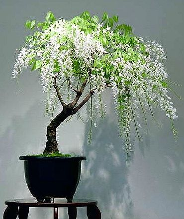 white wisteria ~Bonsai