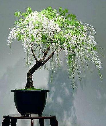 white wisteria ~Bonsai