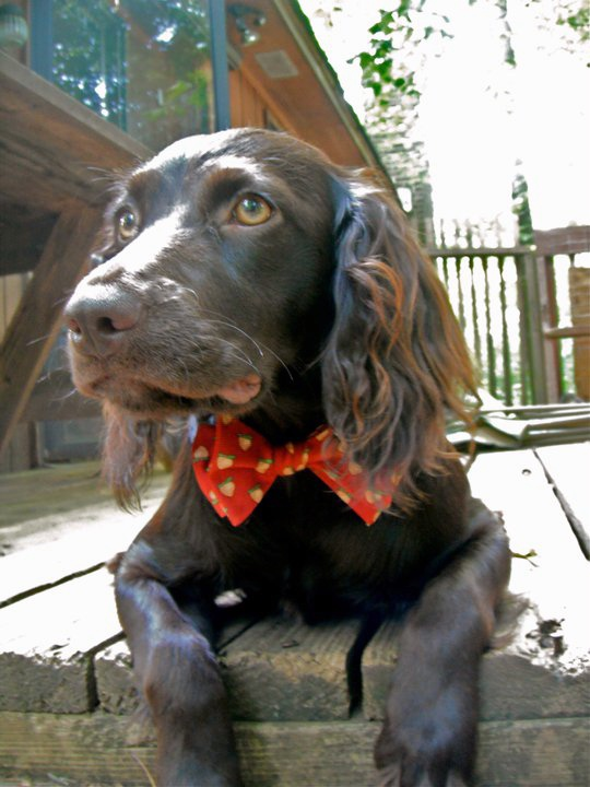 15 best a dogs life images on pinterest boykin spaniel puppies precious boykin solutioingenieria Images