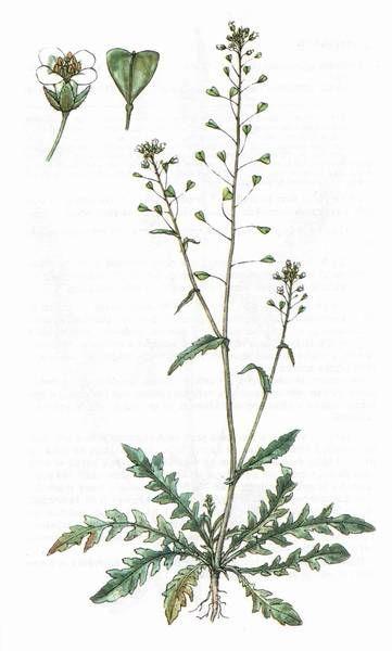 Název - Kokoška pastuší tobolka Odborný název - Capsella bursa-pastoris Čeleď - Brukvovité