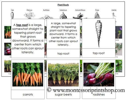 Plant roots includes 7 types of plant roots description cards photographic sorting cards - Home plants types ...