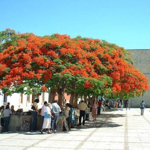Flamboyant - natural da ilha de Madagáscar