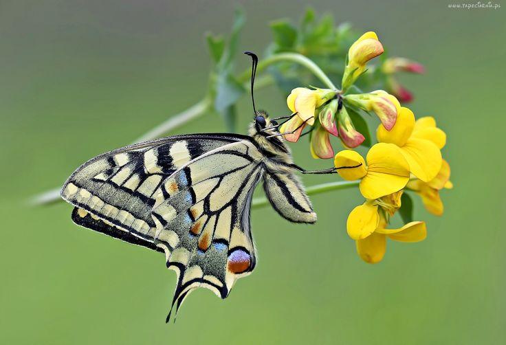 Paź, Królowej, Motyl, Kwiat