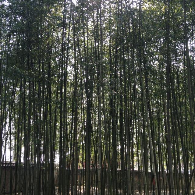 20120414 울창한 대나무숲, 전주한옥마을에서 :-)