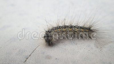 A hairy caterpillar on a table