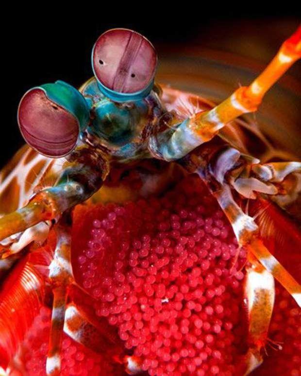 Les squilles multicolores - Spécialité : un poing meurtrier et une super visionLes squilles regroupent plus de 400 espèces connues à ce jour. Certains de ces crustacés sont massifs, lestés de calcaire pour briser coquilles et carapaces, ou armés d'éperons pour empaler leurs proies. D'autres, encore, projettent leurs pattes sur leurs victimes en deux millièmes de seconde. La vitesse est telle qu'elle crée une bulle de vapeur explosive!Et toutes les squilles possèdent une super vision, l'une…