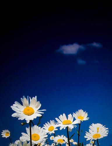 daisy field mountain sky - photo #30