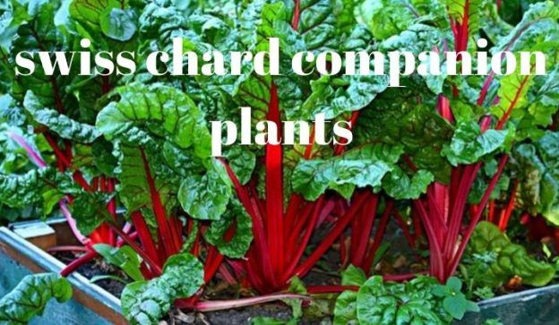 Swiss Chard Companion Plants Companion Planting Growing 400 x 300