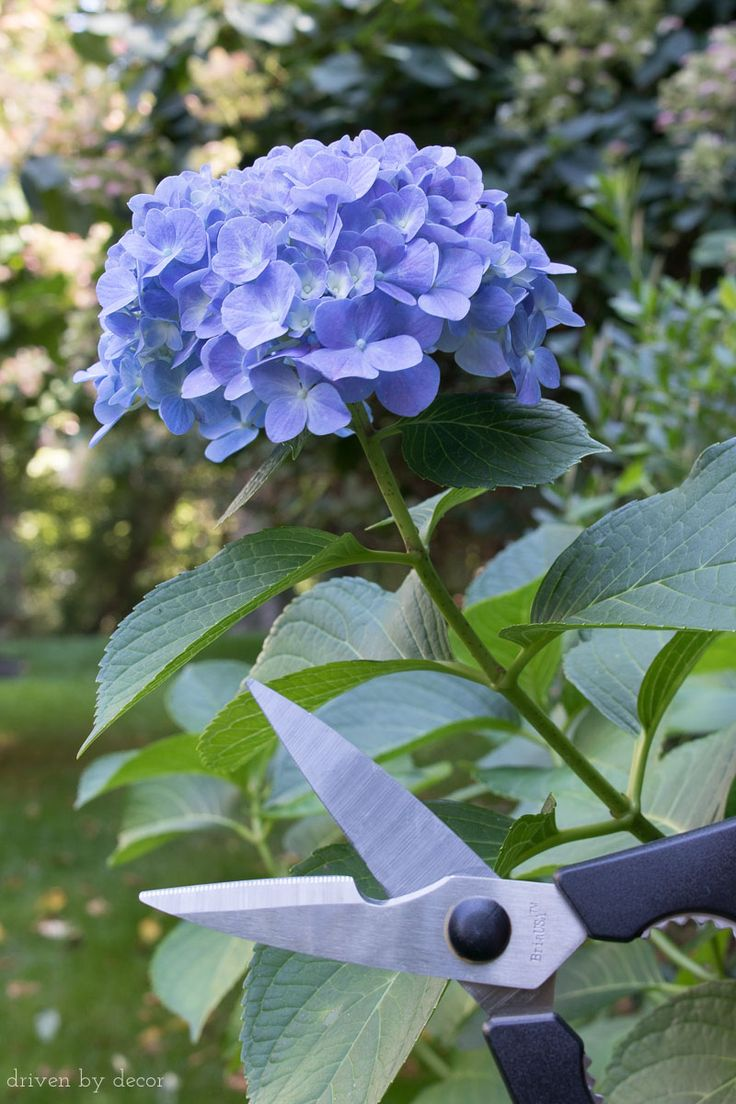Kitchen shears that work beautifully for cutting hydrangeas and other flowers!