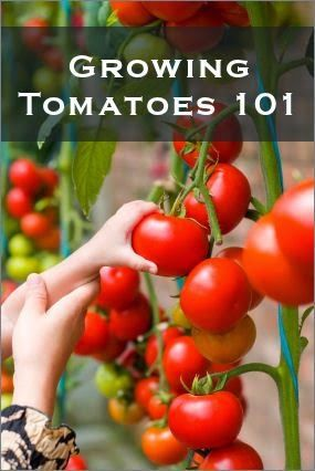 Great tips for growing tomatoes