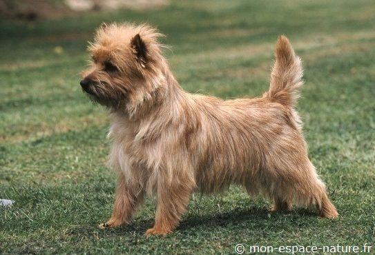 Carin terrier