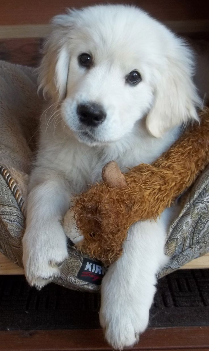 Golden Retriever (English Cream) puppy;photo by cmk