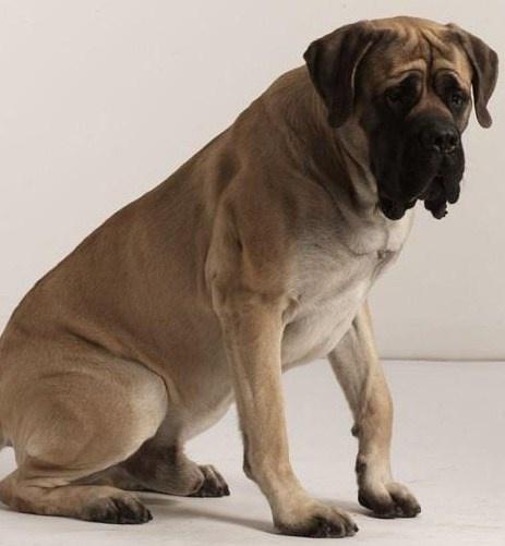 English Mastiff breeder in Omaha