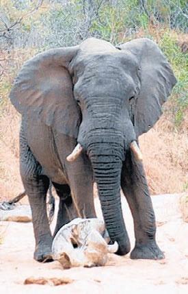 Google Αποτελέσματα Eικόνων για http://d284656.u38.hosting.digiweb.ie/img/2010/09/19/lifestyle/holiday-world/elephant-on-safari.jpg