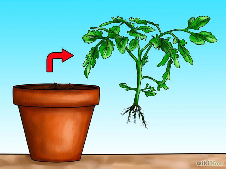 этапы выращивания помидоров в картинках собраны интересные