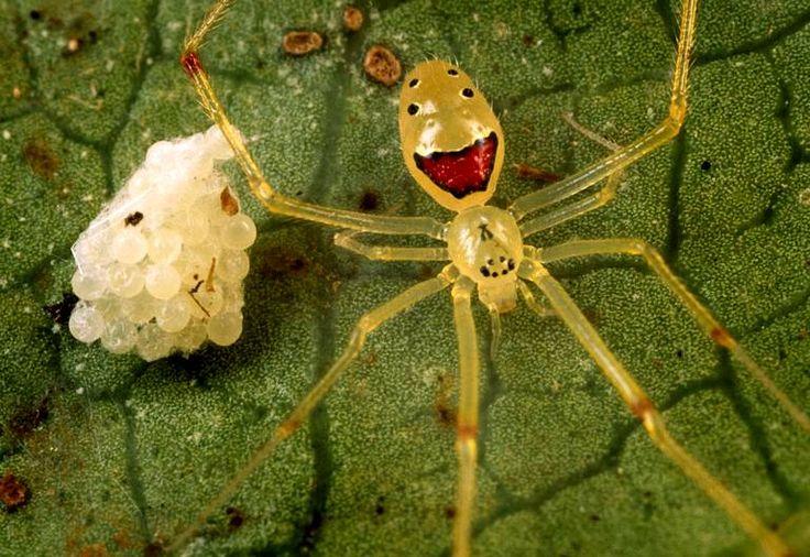 Oh ! Une araignée qui rigole !Découvertedans les forêts tropicales des îles hawaïennes, ce petit insecte dont le nom scientifique estGrallator Theridion, ne mesure que quelques millimètres grande et s'avèreinoffensive pour les humains.
