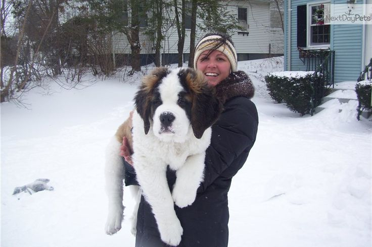 Meet Coming Soon!!! a cute Saint Bernard - St. Bernard puppy for sale for $975. Simply Stunning Saints of MistyRun