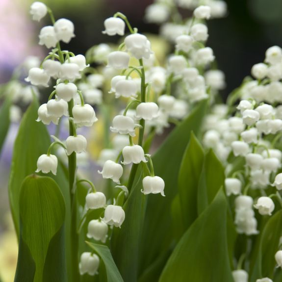 Dans jardin en avant de la maison - Lily of the Valley Convallaria from Bulbs to Blooms