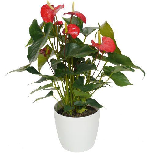 ANTURIO de flores rojas.