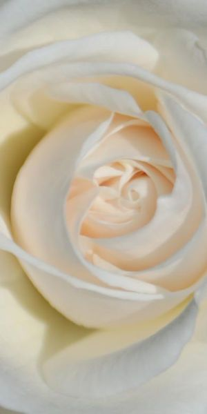 White Rose • by ripplestone garden