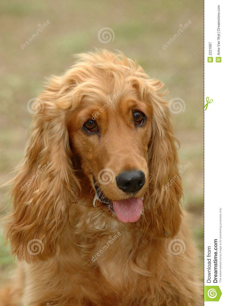 golden spaniel paintings - Google Search