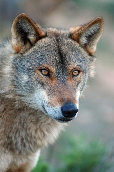 Iberian Wolf  intelligence