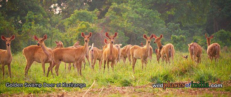 See the beauty of Kaziranga like never before. Lets go!  http://wildplacesofindia.com/kaziranga-national-park.html