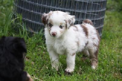 red chiwawa mix | Miniature Australian Shepherd, Gorgeous Red Merle Mini Aussie, Dog ...