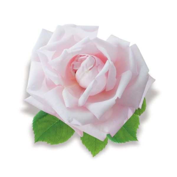 Róża pnąca różowa - Rosa 'New Dawn'