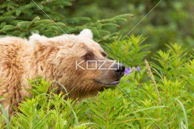 brown bear close up - A large brown bear shot up close