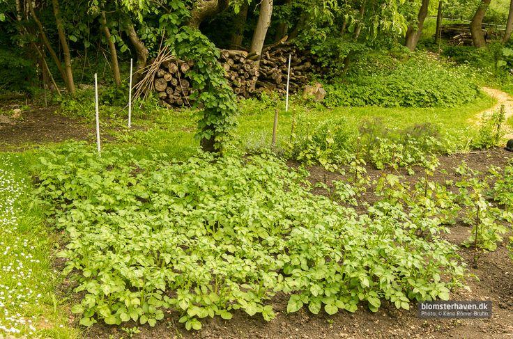 Kartoffelbed, lidt vinplanter og en enkelt humle