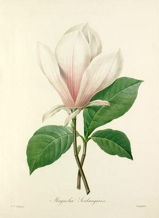 Colour-printed, hand-finished stipple engraving entitled Magnolia Soulangiana. From P. J. Redouté's Choix des plus belles fleurs. Creator: Redouté, Pierre Joseph (1759-1840) (Artist). Date: circa 1827