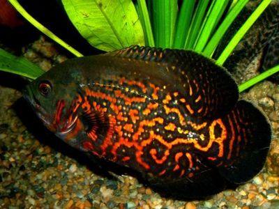 Tiger oscar astronotus ocellatus aggressive fish but for Non aggressive fish
